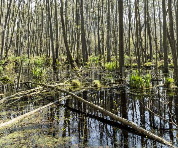 Stock fotó: Híres · mocsár · park · fa · erdő · fák