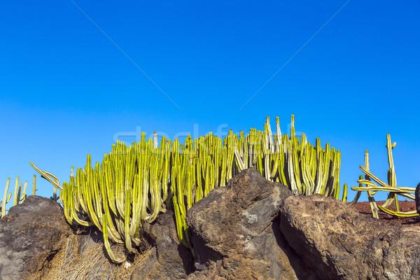 Groene cactus planten kust promenade oceaan Stockfoto © meinzahn