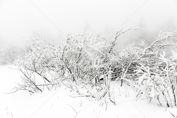 Pine trees in the snow in front of a blizzard   Stock photo © meinzahn