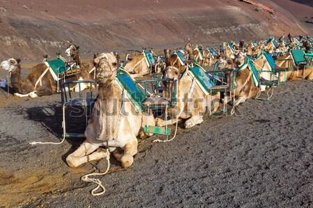 Camelos parque turistas natureza paisagem Foto stock © meinzahn