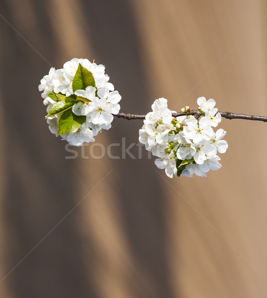 şube çiçeklenme bahar beyaz gökyüzü Stok fotoğraf © meinzahn