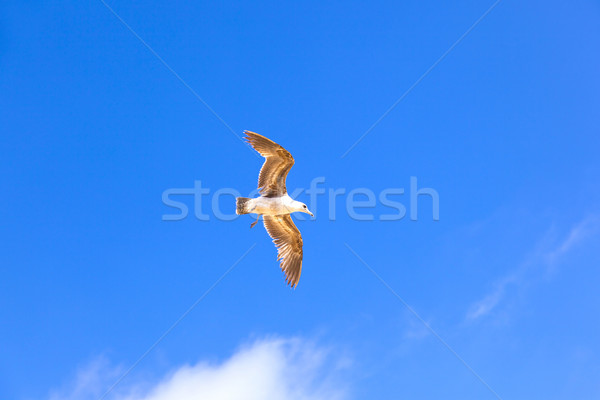 sea gull flying in the blue sky Stock photo © meinzahn