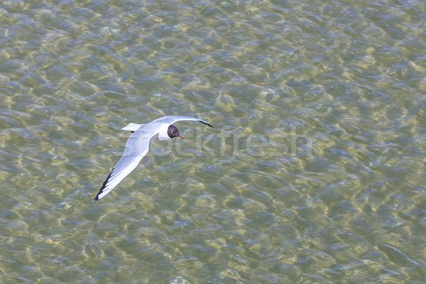 seagull at the coast flying and swimming Stock photo © meinzahn