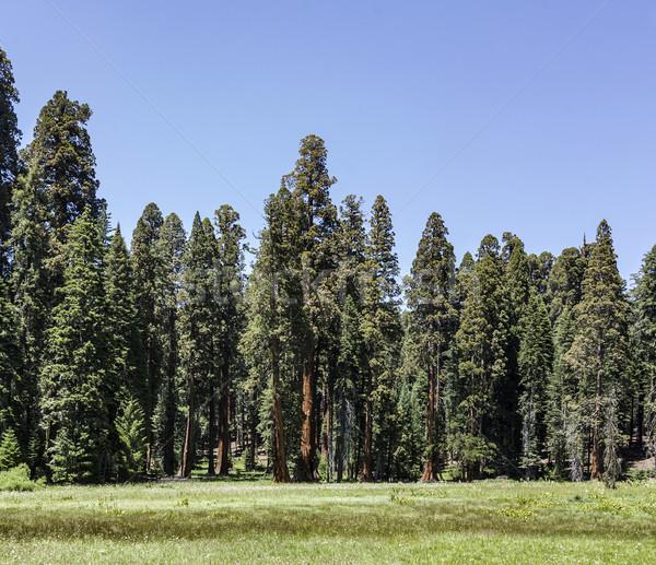 Sekwoja drzew parku duży Zdjęcia stock © meinzahn