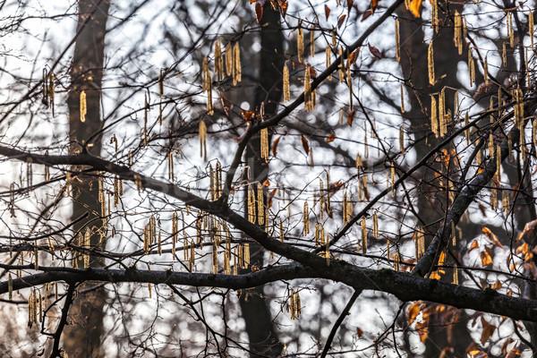 Sauce árbol luz del sol madera sol hoja Foto stock © meinzahn