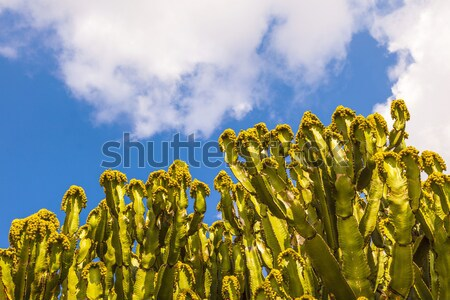 cactus with prickly pears  fruits  Stock photo © meinzahn