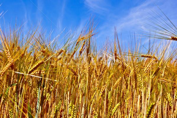 golden cornfield with blue sky Stock photo © meinzahn