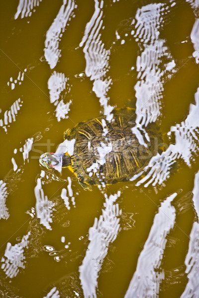 head of turtle in the water protection area in the outer banks Stock photo © meinzahn