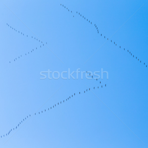 migrant birds on their way to warmer aerea Stock photo © meinzahn