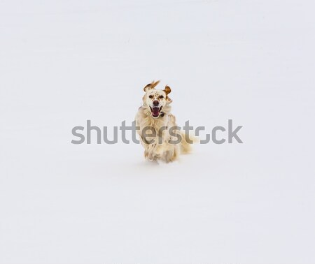dog running on snow covered field Stock photo © meinzahn