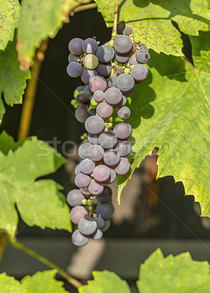 Stock photo: Blue grape cluster on vine closeup photo