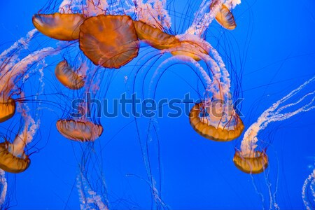 Zselé halfajok mély kék óceán fényes Stock fotó © meinzahn