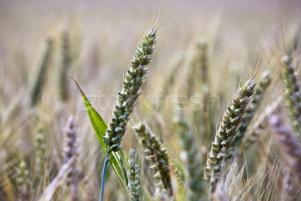 spica of corn in the field in beautiful light Stock photo © meinzahn
