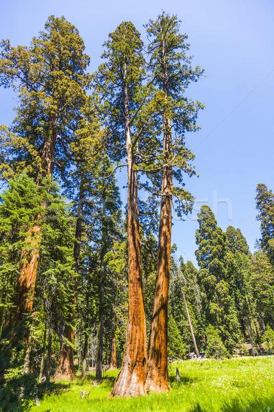 Noto grande sequoia alberi piedi parco Foto d'archivio © meinzahn