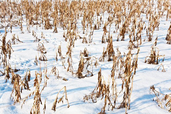acre covered with snow and corn from last harvest Stock photo © meinzahn