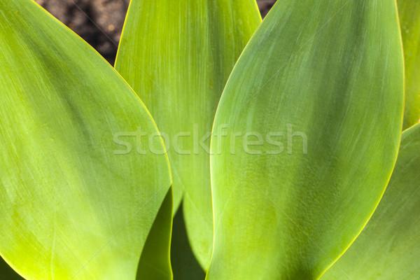 Belo agave planta luz solar harmônico padrão Foto stock © meinzahn
