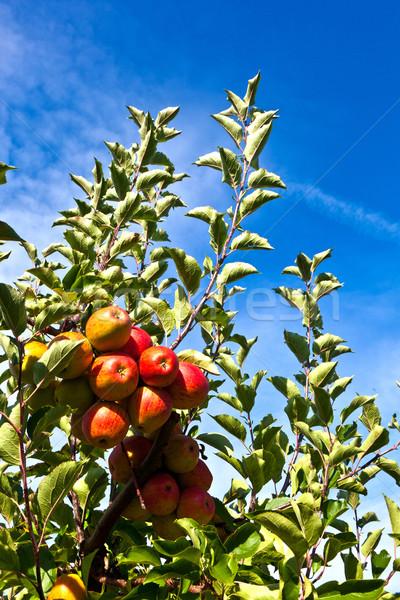 Olgun elma ağaç gıda elma Stok fotoğraf © meinzahn