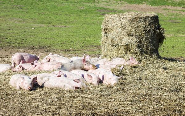 flock of pigs in a bio farm Stock photo © meinzahn