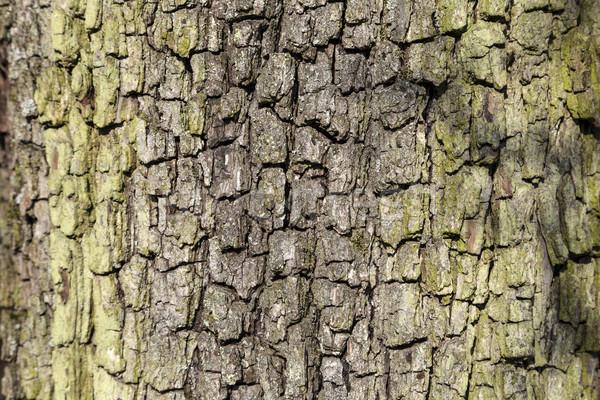 Kory dąb harmoniczny wzór drzewo Zdjęcia stock © meinzahn
