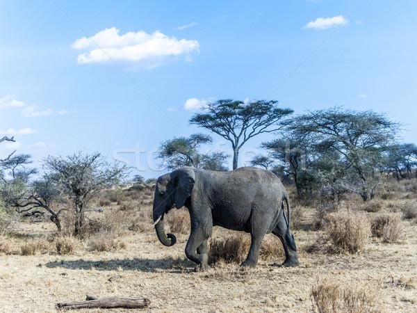 Olifanten kijken voedsel bomen serengeti Tanzania Stockfoto © meinzahn