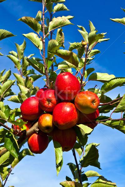 ripe apples at the tree Stock photo © meinzahn