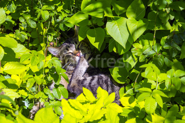Stockfoto: Cute · kat · bloem · zomer · groene · tijger
