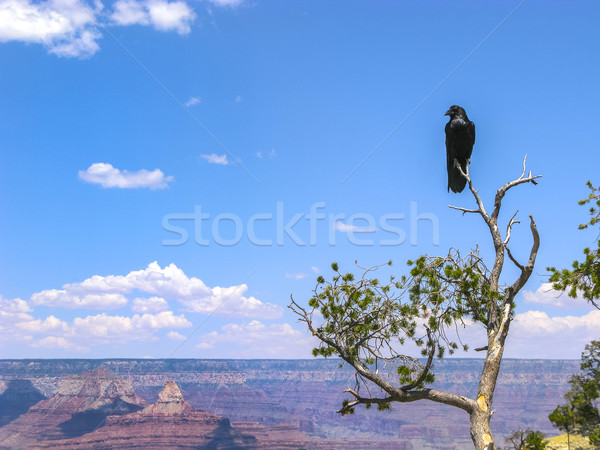raven at a tree at grand canyon Stock photo © meinzahn