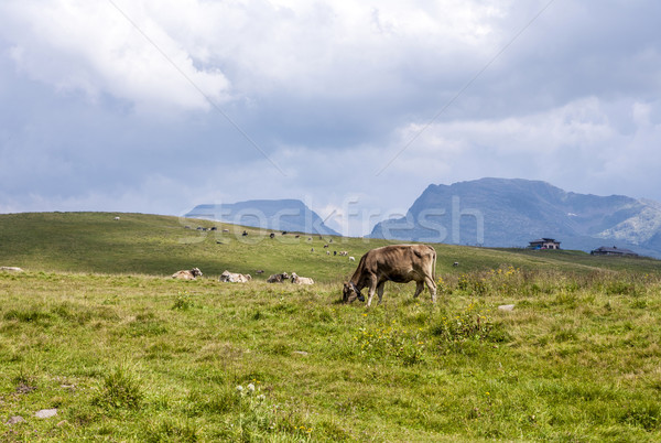 cows grazing at the meadow at Rolle Pass  Stock photo © meinzahn