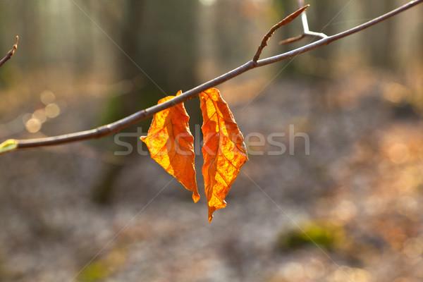Pormenor carvalho folha outono textura árvore Foto stock © meinzahn