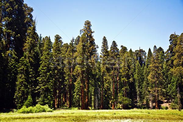 Híres nagy óriásfenyő fák áll park Stock fotó © meinzahn