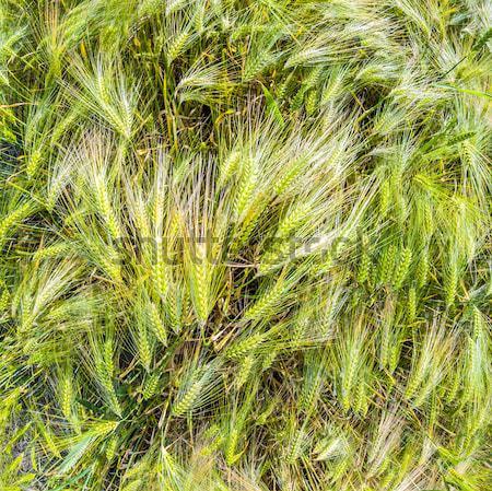 Mais campo dettaglio alimentare natura Foto d'archivio © meinzahn