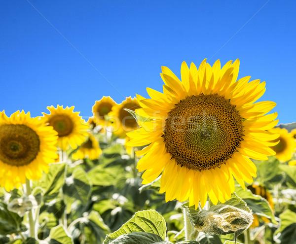 Girasole campo campagna bella maturo giallo Foto d'archivio © meinzahn