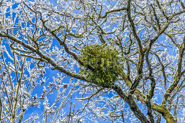 Stock photo: mistletoe in the tree