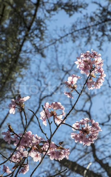 Cseresznye fa gyönyörű nő kék ég Stock fotó © meinzahn