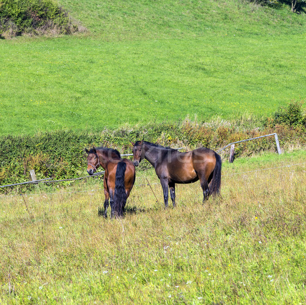 Stock photo: horses enjoy grazing on the  green meadow
