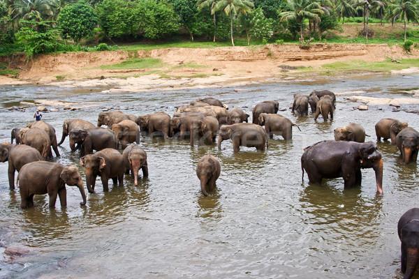 flock of elephants bathing in the river Stock photo © meinzahn