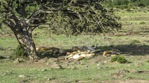lions relax under a tree in Masai Mara National Park. Stock photo © meinzahn