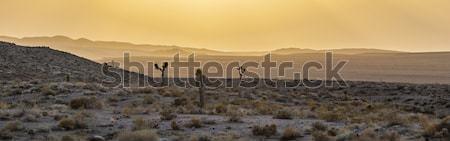 beautiful yucca plants in sunset in desert area   Stock photo © meinzahn