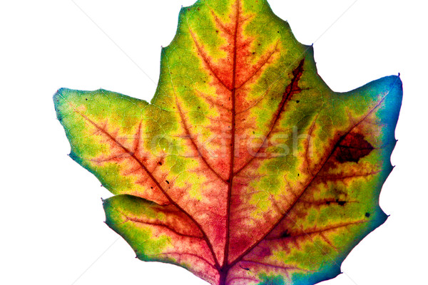 beautiful leaves in autumn color, Indian summer Stock photo © meinzahn