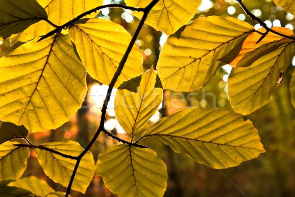 Tölgy levelek harmónia nap naplemente narancs Stock fotó © meinzahn