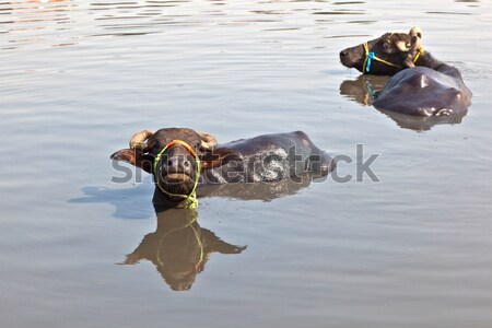 cow has a rest in the lake of the village Stock photo © meinzahn