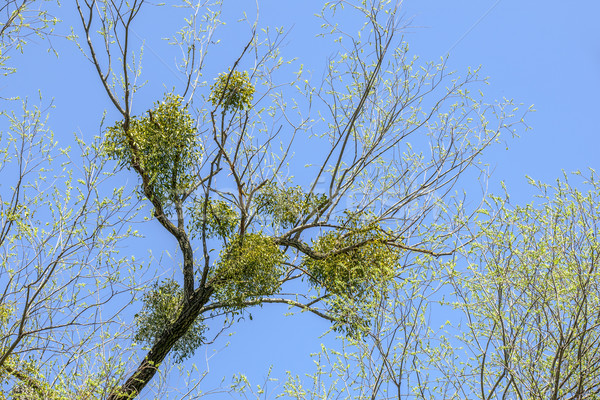 Maretak boom blauwe hemel hemel gras natuur Stockfoto © meinzahn
