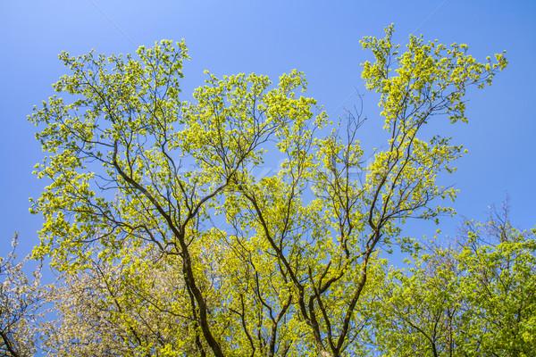 Levelek fa intenzív fény reggel levél Stock fotó © meinzahn