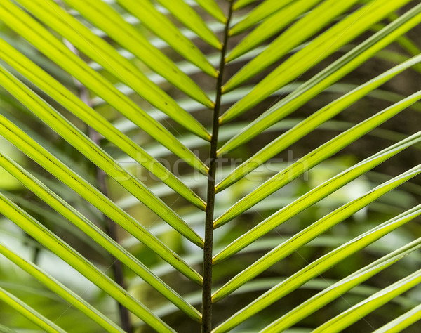 Padrão folhas de palmeira selva Dominica harmônico Foto stock © meinzahn