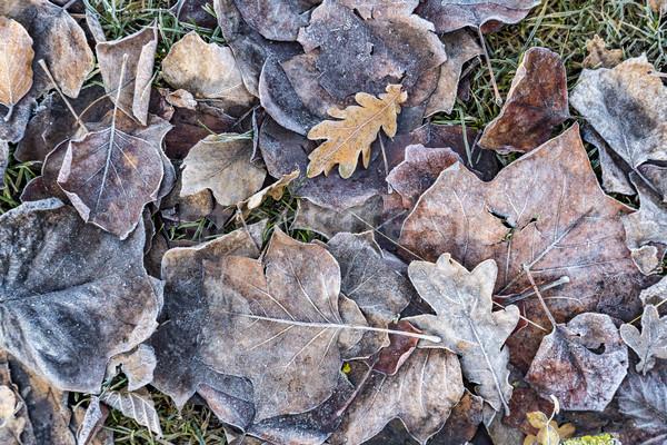 autumn oak leaves with frost  Stock photo © meinzahn