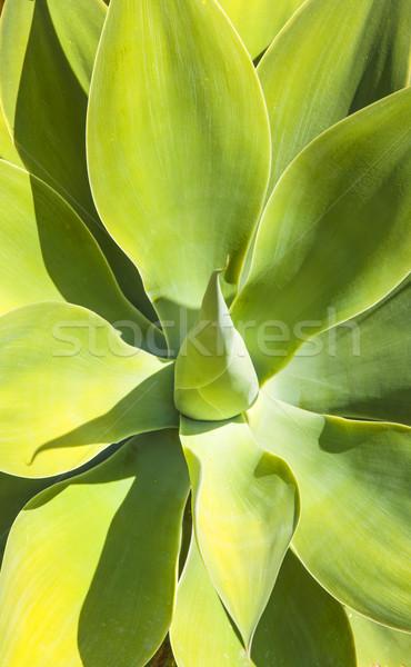 Agavé növény természetes napfény természet fény Stock fotó © meinzahn