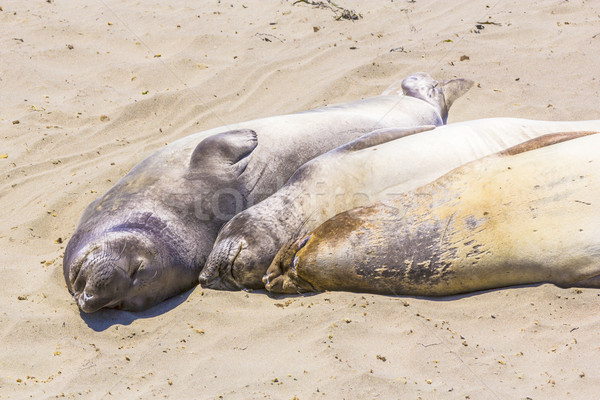 Stock photo: hugging young male Sea lions at the sandy beach relax