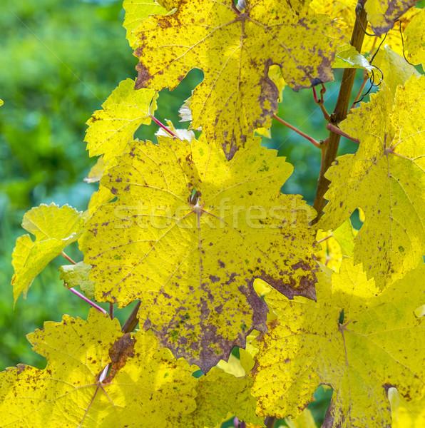 Uva foglie primo piano bella luce sole Foto d'archivio © meinzahn