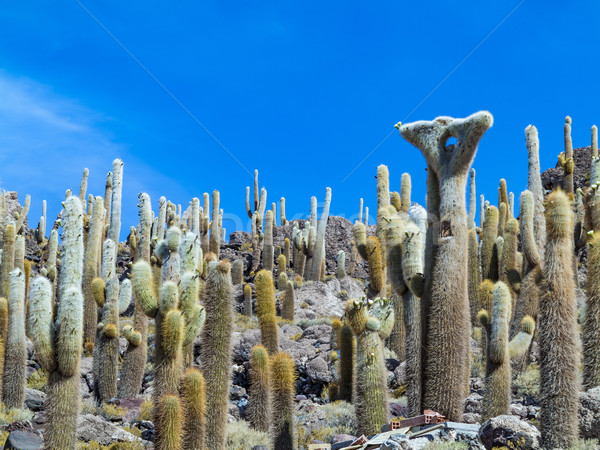 Group of Huge Trichoreus cactus standing on Isla Incahuasi at sa Stock photo © meinzahn