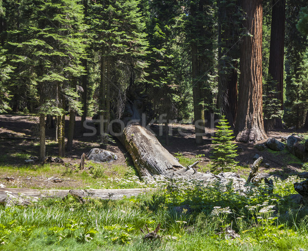 tall and big sequoias in sequoia national park Stock photo © meinzahn